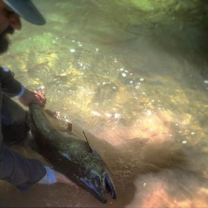 Daniel Releasing a Chinook